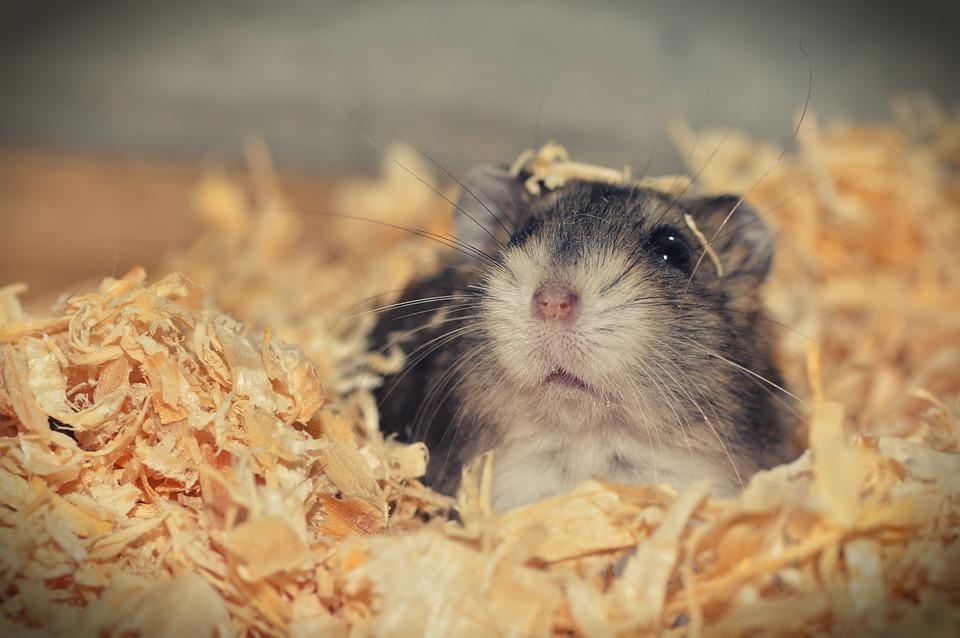 L'élevage de hamsters